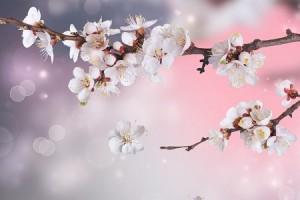 願いがかなうかがわかる、桜の花びら占い