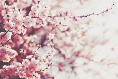 【夢占い】桜の夢が暗示すること 満開の夢は絶好調!