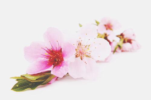 【心理テスト】あなたが好きな桜の咲き具合は? 答えでわかる憧れる青春時代