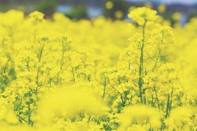 【3月の開運壁紙】恋愛運は「羊」、金運は「菜の花」の写真で運気アップ!