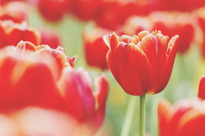 【夢占い】春に咲く花の夢が暗示すること チューリップの夢は新たな恋の予感!