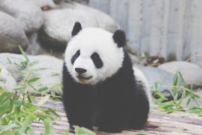 【夢占い】パンダは権力を手に入れる暗示? かわいい動物の夢が暗示すること