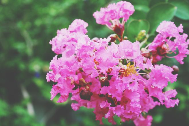 【10月の開運壁紙】恋愛運は「サルスベリの花」、金運は「クジャク」の画像で運気アップ!